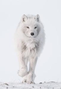 Loup arctique © Vincent Munier